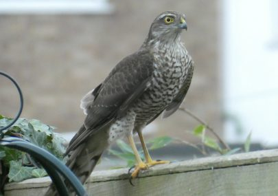 Sparrowhawk - Winter Visitor
