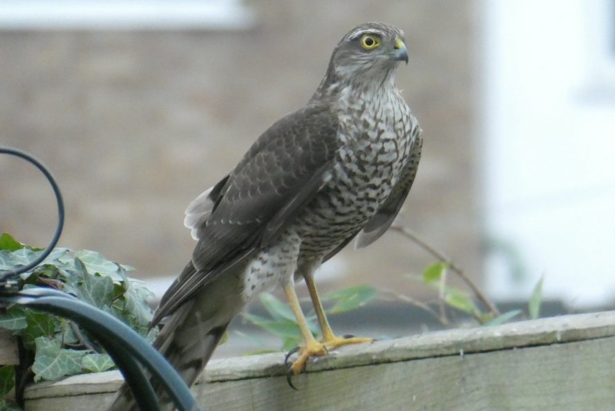 Sparrowhawk - Winter Visitor