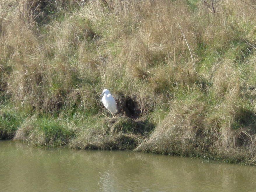 Little Egret - ahh. | J.Walden