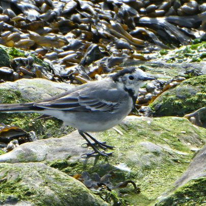 Pied Wagtail on the banks of the Thames | © Janet Penn