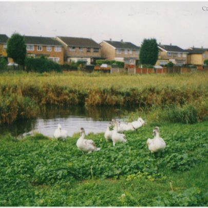8th Oct 2000: Swans at Canvey Lake | Stan & Vera Oaker