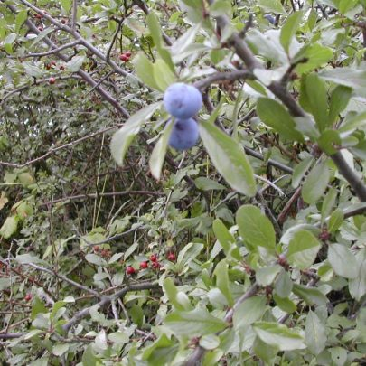 Blackthorn tree a member of the Rose family and an ancestor of our garden Plums | Emma