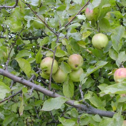 Apple Tree | Emma