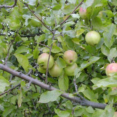 Apple Tree | Emma