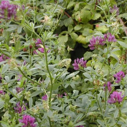 Clover or Vetch Family | Emma