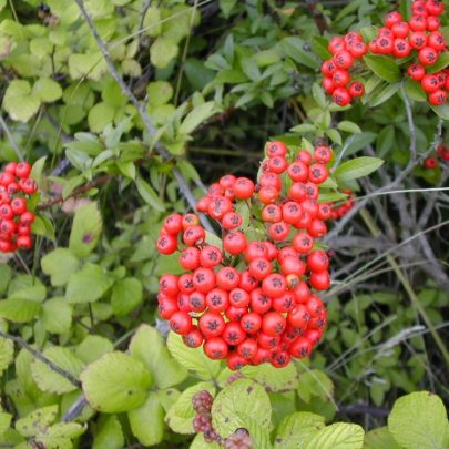 PYRACANTHA (Firethorn)  Large sprawling, vine like, thorny shrub. White flowers in spring, red or orange berries in fall and winter | Emma