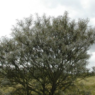 Sea Buckthorn is an ornamental prickly dediduous hedging plant | Emma