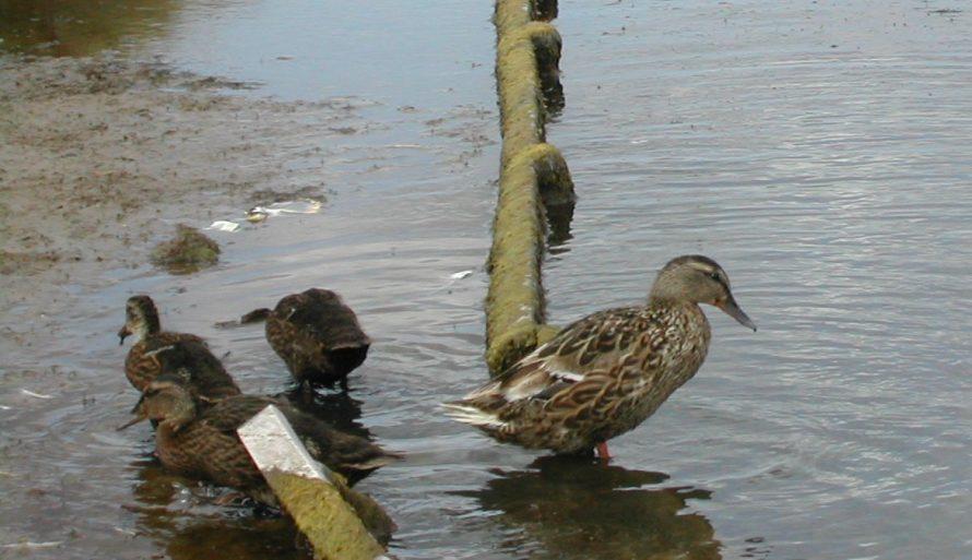 Closeup of mum and ducklings | Emma