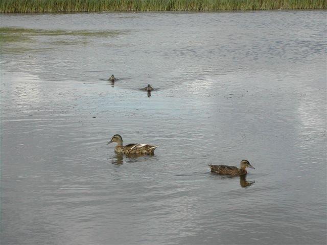 Mallard family on Smallgain Pond | Emma