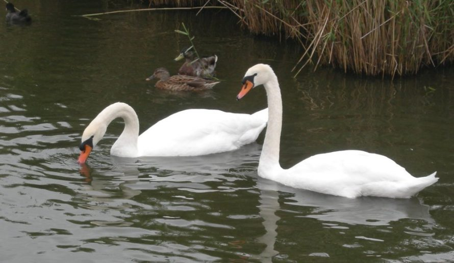 A pair of Mute Swans and a pair of Mallards | J Penn