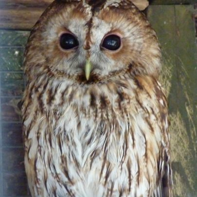 Tawney Owl | Janet Penn