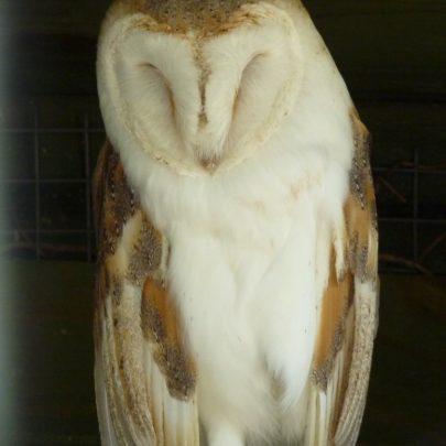 Barney Owl | Janet Penn