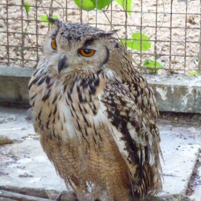 Bengal Eagle Owl | Janet Penn
