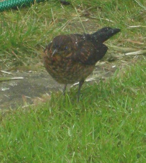 Female Blackbird. 2007 | Janet Penn
