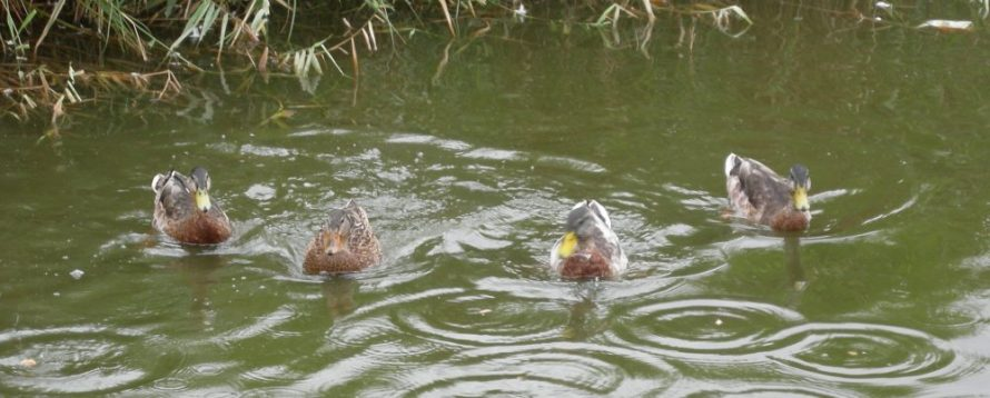 A new Olympic Event? Synchronised Duck Swimming!!!! | J Penn
