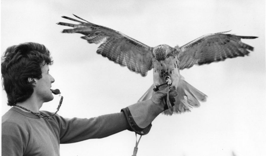 Ray Aliker lands a Red Tail Hawk | Echo Newspaper Group