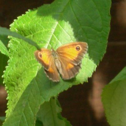 Gatekeeper Butterfly | Janet Penn