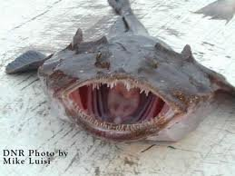 A modern day Monkfish - look similar?   DNR Photo by Mike Luisi