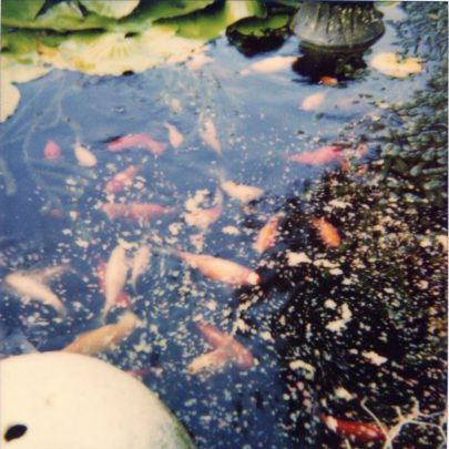 i). Some of the nearly 1000 goldfish that once filled the ponds. | N.Bevan