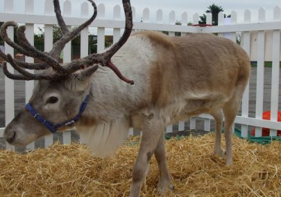 Reindeer make an early visit to Canvey