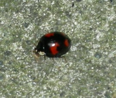 Ladybird but not a native? Confirmation this is a Harlequin Ladybird (H. axyridis spectabilis) | Janet Penn
