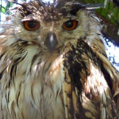 Bengal Eagle Owls | Janet Penn