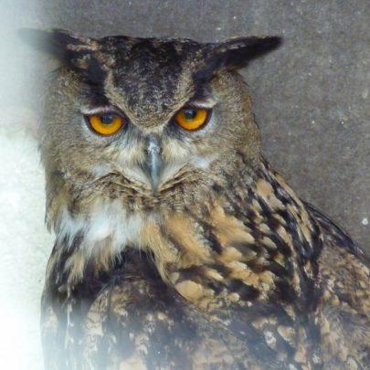 European Eagle Owl | Janet Penn