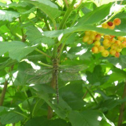 Dragonfly | Janet Penn