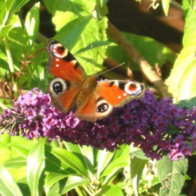 Peacock Butterfly | Janet Penn