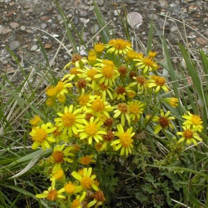 Ragwart is a herb with daisy-like flowers. They are members of the Daisy family and are mildly poisonous usually avoided by cattle. | Emma