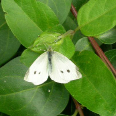 Small White Butterfly | Janet Penn
