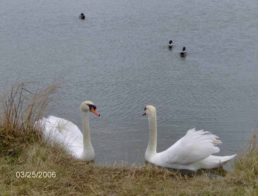 Swans on Smallgains Pond