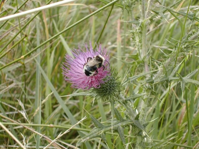 Thistle and bee | Emma