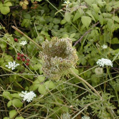 Wild Carrot also known as Birds Nest or Queen Anne's Lace | Emma
